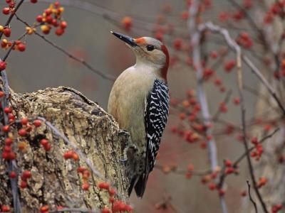 Red-Bellied Woodpecker (Melanerpes Carolinus) on Bittersweet (Celastrus), Southern USA-Steve Maslowski-Photographic Print