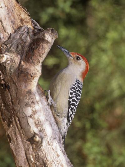 Red-Bellied Woodpecker, Melanerpes Carolinus-Gary Carter-Photographic Print