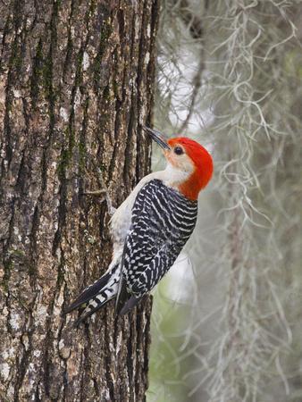 https://imgc.artprintimages.com/img/print/red-bellied-woodpecker-texas-usa_u-l-phaf1a0.jpg?p=0