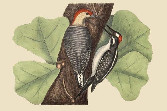 Red Bellied Woodpecker-Mark Catesby-Art Print