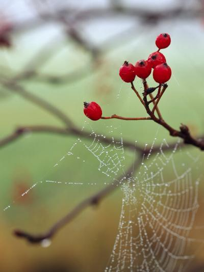 Red Berries and a Spider Web--Photographic Print