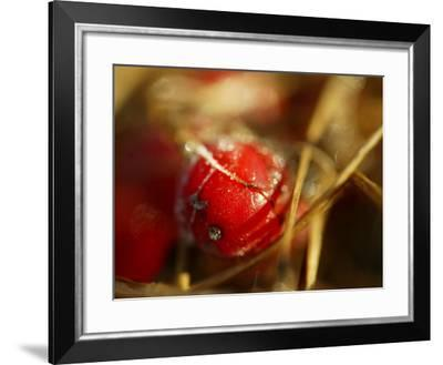 Red Berries at Kenilworth Castle Grounds in Warwickshire--Framed Photographic Print