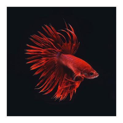Red Betta Fish-PhotoINC Studio-Art Print