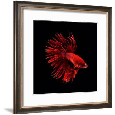 Red Betta Fish--Framed Photographic Print