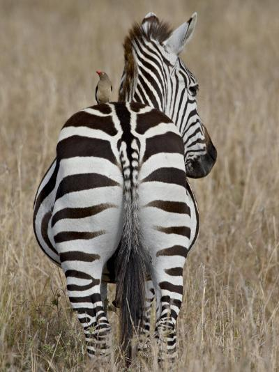Red-Billed Oxpecker on a Grants Zebra-James Hager-Photographic Print