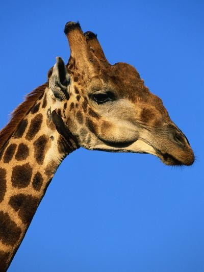 Red-Billed Oxpecker on Giraffe's Head--Photographic Print