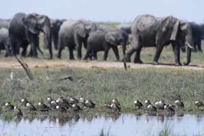 Red-Billed Teal (Anas Erythrorhyncha), Savuti Marsh, Chobe National Park, Botswana, Africa-Sergio Pitamitz-Photographic Print