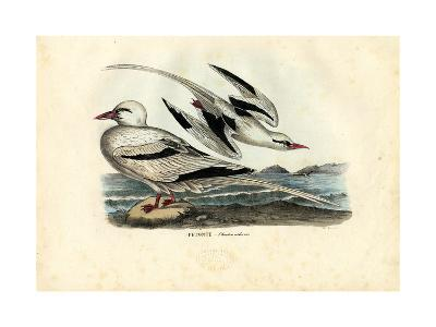 Red-Billed Tropicbird, 1863-79-Raimundo Petraroja-Giclee Print