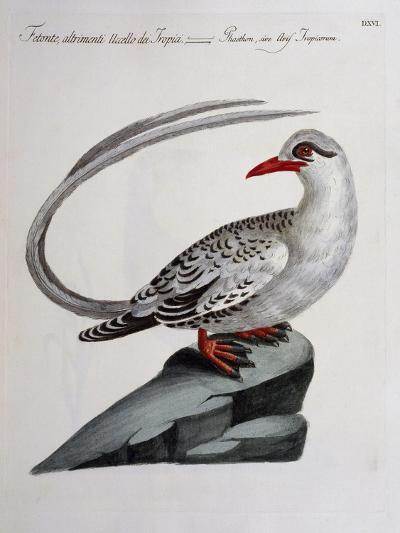 Red-Billed Tropicbird (Phaethon Aethereus), Coloured from History of Birds, 1767, Table 516--Giclee Print
