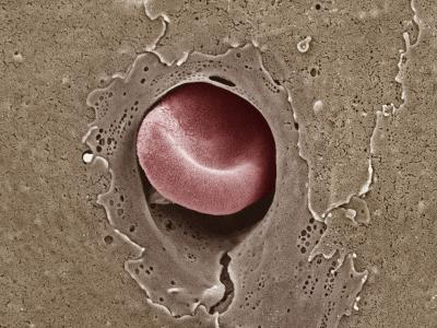 Red Blood Cell in a Capillary, SEM X9000-Thomas Deerinck-Photographic Print