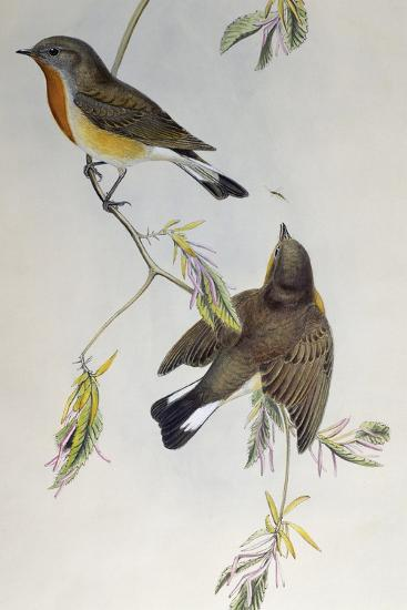 Red-Breasted Flycatcher (Ficedula Parva)-John Gould-Giclee Print