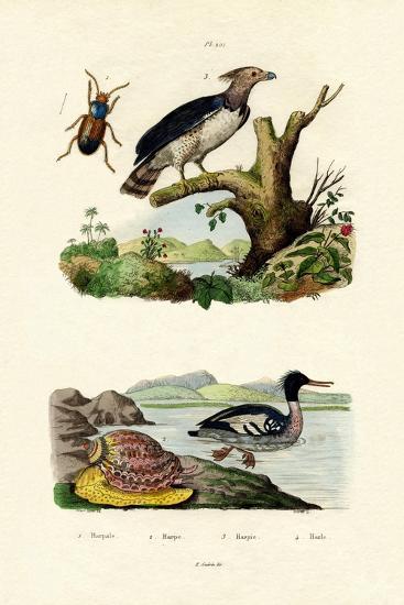 Red-Breasted Merganser, 1833-39--Giclee Print