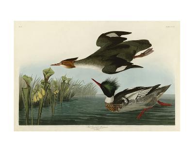 Red Breasted Merganser-John James Audubon-Art Print