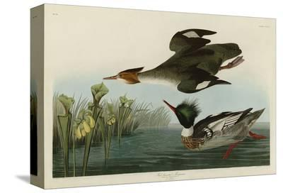 Red Breasted Merganser-John James Audubon-Stretched Canvas Print