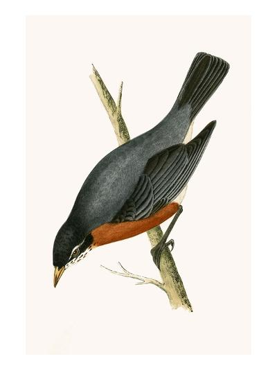 Red Breasted Thrush,  from 'A History of the Birds of Europe Not Observed in the British Isles'-English-Giclee Print
