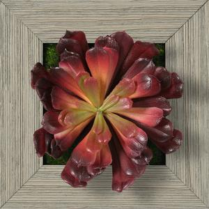 Red Burgundy Aeonium Square - Farmhouse Gray