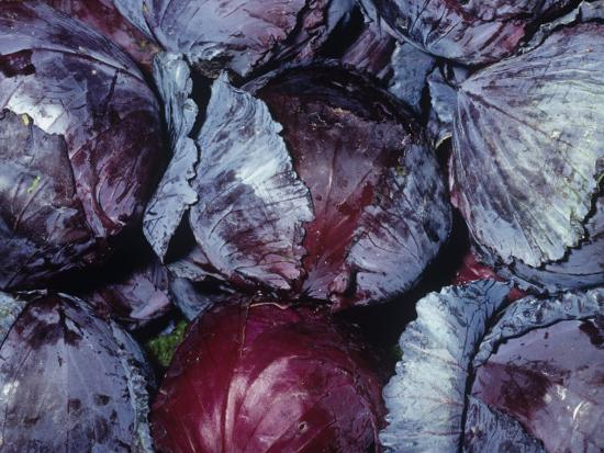 Red Cabbage (Brassica Oleracea Capitata), Native to Europe and the Mediterranean Region-Ken Lucas-Photographic Print