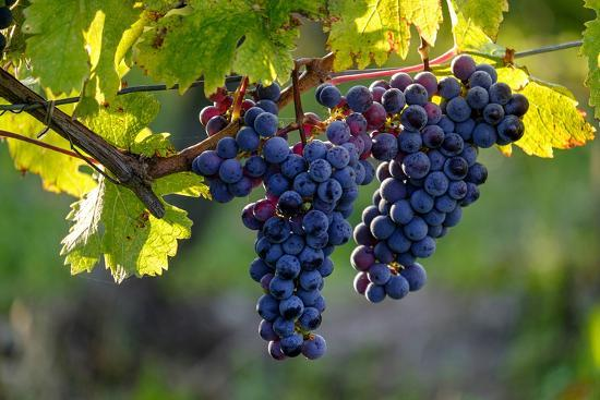 Red Cabernet, Vineyard, Chinon, Indre Et Loire, Centre, France, Europe-Nathalie Cuvelier-Photographic Print