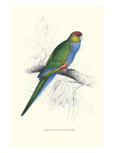 Red Capped Parakeet Female - Purpureicephalus Spurius-Edward Lear-Art Print