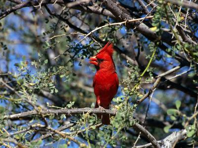 Red Cardinal in Arizona-Carol Polich-Photographic Print