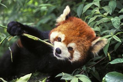 Red Cat-Bear Eating Bamboo Shoot--Photographic Print