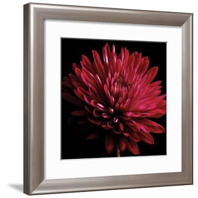 Red Chrysanthemum on Black-Tom Quartermaine-Framed Giclee Print