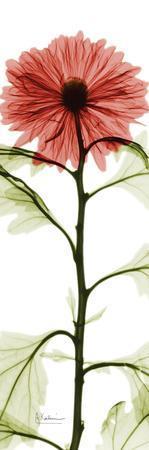 https://imgc.artprintimages.com/img/print/red-chrysanthemum_u-l-f548cq0.jpg?p=0