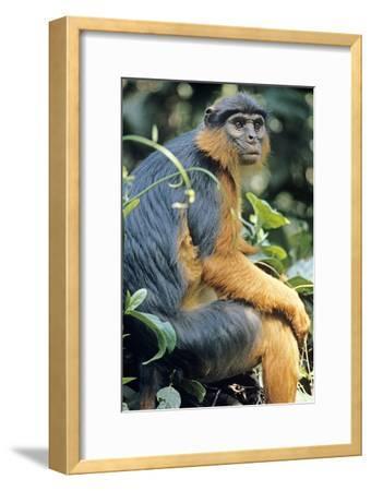 Red Colobus Monkey Female Sitting