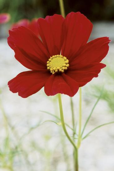 Red Cosmos I-Bob Stefko-Photographic Print
