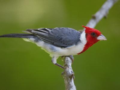 Red-Crested Cardinal (Paroaria Coronata) Perched on Branch, Pantanal, Brazil-Pete Oxford-Photographic Print