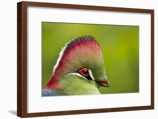 Red-Crested Turaco (Tauraco Erythrolophus) Captive At Zoo. Endemic To Western Angola-Denis-Huot-Framed Photographic Print
