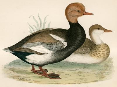Red Crested Whistling Duck-Beverley R. Morris-Giclee Print