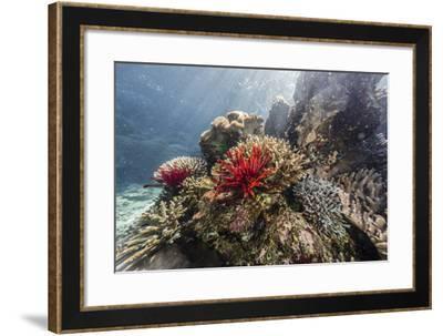 Red crinoid on Tengah Kecil Island, Komodo National Park, Flores Sea, Indonesia, Southeast Asia-Michael Nolan-Framed Photographic Print