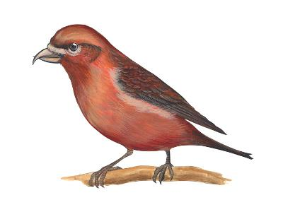Red Crossbill (Loxia Curvirostra), Birds-Encyclopaedia Britannica-Art Print