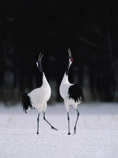 Red-Crowned Crane (Grus Japonensis) Couple in Courtship Display, Hokkaido, Japan-Konrad Wothe-Photographic Print