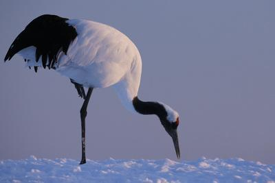https://imgc.artprintimages.com/img/print/red-crowned-crane-hokkaido-island-japan_u-l-q1d3utf0.jpg?p=0