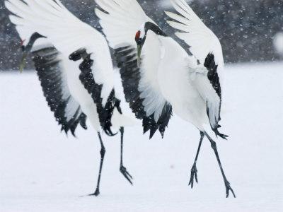 https://imgc.artprintimages.com/img/print/red-crowned-crane-hokkaido-japan_u-l-q10qzeb0.jpg?p=0