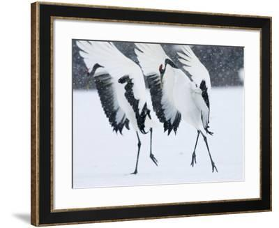 Red-Crowned Crane, Hokkaido, Japan-Roy Toft-Framed Photographic Print