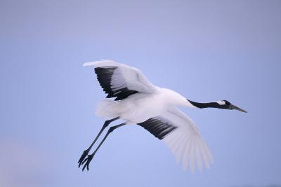 Red-Crowned Crane in Flight-DLILLC-Photographic Print