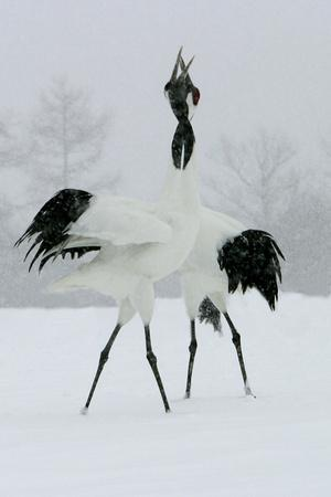 Red-Crowned Crane Pair Displaying, Necks Intertwined--Photographic Print
