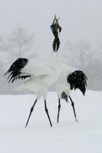 Red-Crowned Crane Pair Displaying, Necks Intertwined