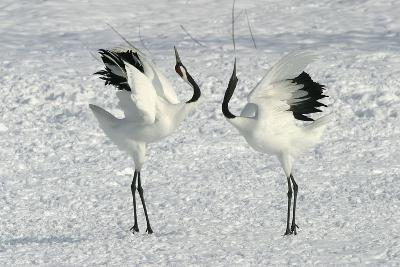 Red-Crowned Crane Pair Displaying--Photographic Print