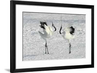Red-Crowned Crane Pair Displaying--Framed Photographic Print