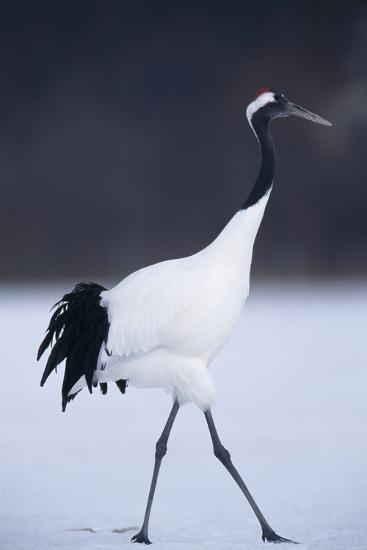 Red-Crowned Crane Walking on Snow-DLILLC-Photographic Print