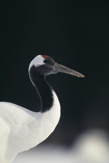 Red-Crowned Crane-DLILLC-Photographic Print