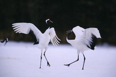 Red-Crowned Cranes in Courtship Display-DLILLC-Photographic Print