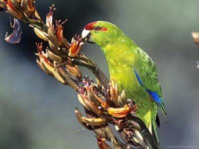 Red-Crowned Parakeet, Cyanoramphus Novaezelandiae Feeding on New Zealand Flax, New Zealand-Robin Bush-Photographic Print
