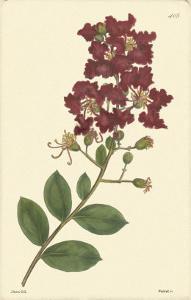 Red Curtis Botanical II