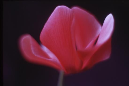Red Cyclamen Abstract-Anna Miller-Photographic Print