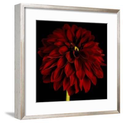 Red Dahlia on Black 01-Tom Quartermaine-Framed Giclee Print